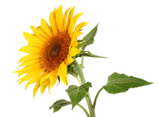 Photo sur Plexiglas Tournesol Sunflower