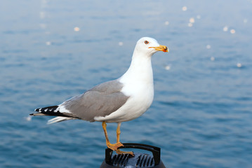 Seagull sitting in front of blue sea