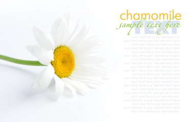 Foto op Aluminium Madeliefjes Chamomile flower on a white background with space for text