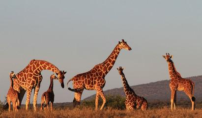 Family group of Giraffes