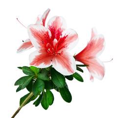 azalea flower isolated