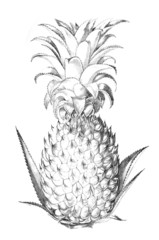19th century engraving of a pineapple