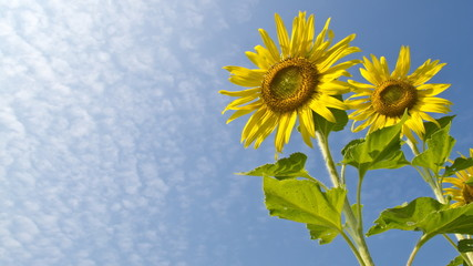 Yellow sunflower with blue sky
