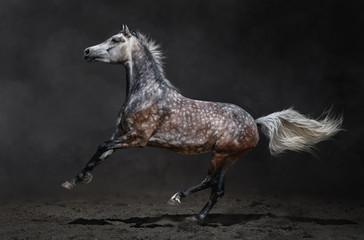Wall Mural - Gray arabian horse gallops on dark background