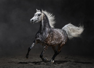 Wall Mural - Gray arabian horse gallops on dark background