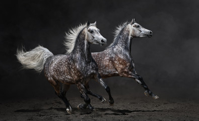 Wall Mural - Two gray arabian horses gallop on dark background