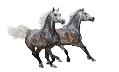 Wall Mural - Two gray arabian horses gallop on white background