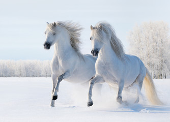 Wall Mural - Two white horses gallop on snow field