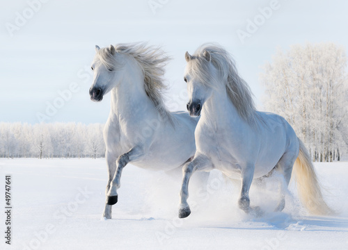 Fototapete Two white horses gallop on snow field