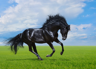 Fototapete - Black horse gallops on green field