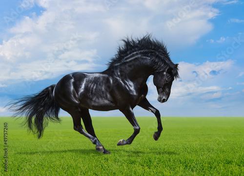Fototapete Black horse gallops on green field