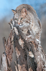 Fototapete - Bobcat (Lynx rufus) Blends in on Snowy Stump
