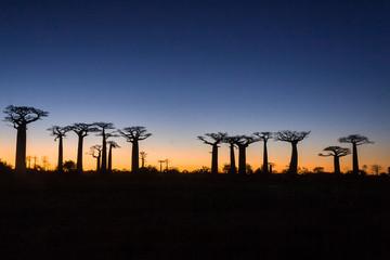 In de dag Baobab Sunset on baobab trees