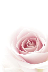 close up of elegant purple rose on white background