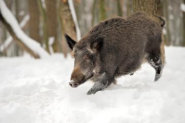 Wall Mural - Wild boar