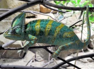 Chamäleon  Chamaeleonidae