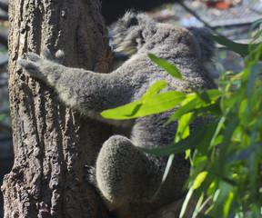 Canvas Prints Curious koala on the tree