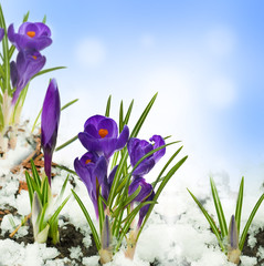 Poster Krokussen Snowdrops and crocuses on snow in a sunny day