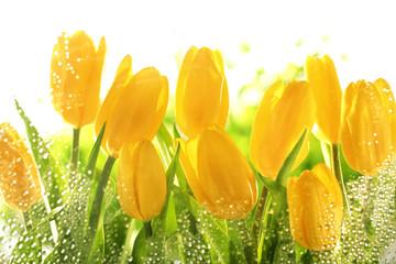 Obraz Żółte tulipany - fototapety do salonu
