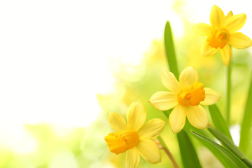 Foto op Canvas Narcis Daffodil flowers