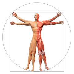 Human anatomy as the vitruvian man by Leonardo da Vinci