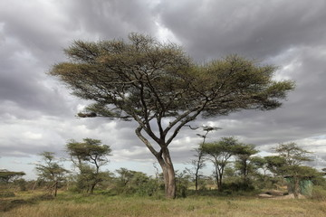 Acacia tree against cloudy sky
