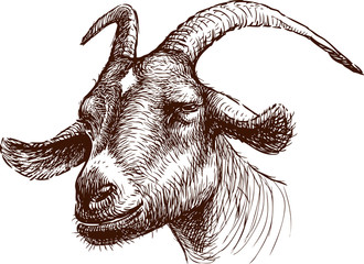 head of goat