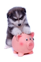 Husky Welpe mit Sparschwein