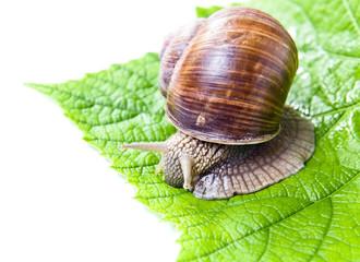 snail eating green vine leaves