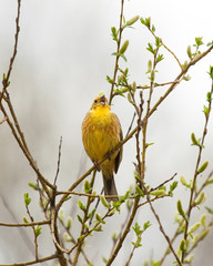Yellowhammer on spring branch