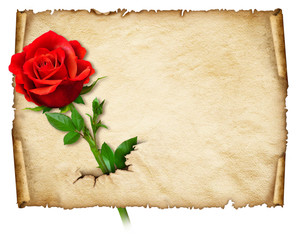 Old curly paper with red rose – space for text or images