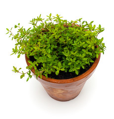thyme in pot isolated on white