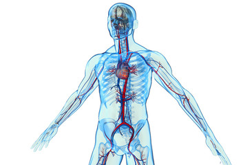 Human body with cardiovascular system