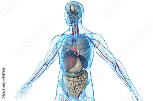 3D human body with internal organs\