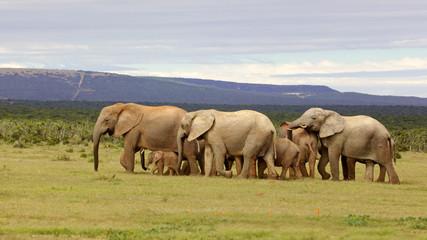 Breeding Elephant Herd