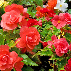 beautiful background of flowers begonias