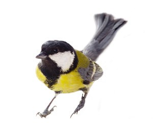 great tit in the middle of the winter