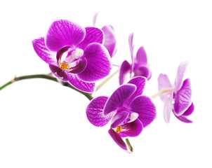 Tuinposter Orchidee Rare purple orchid isolated on white background.