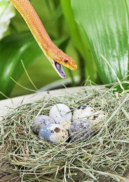 Texas rat snake in a bird's nest