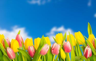 tulpen und himmel