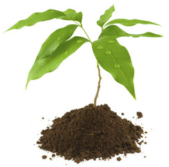 jeune plant de litchi
