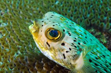 Fototapete - close up of blowfish underwater in ocean