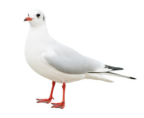 white bird seagull isolated