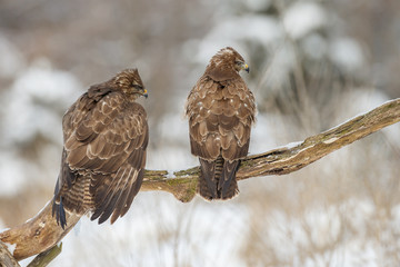 Two buzzards looking right