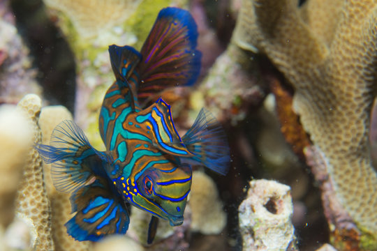 Mandarin fish on hard coral background