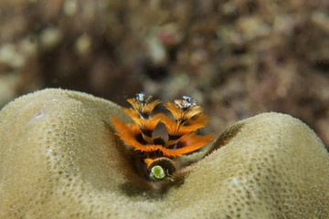 Orange Christmas tree worm on hard coral