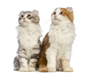 Two American Curl kittens, 3 months old, sitting