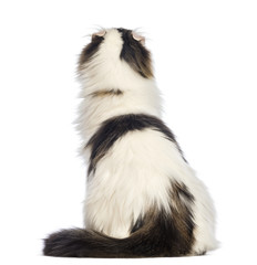 Rear view of an American Curl sitting and looking up