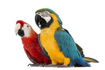 Fond de hotte en verre imprimé Perroquets Blue-and-yellow Macaw, Ara ararauna, 30 years old