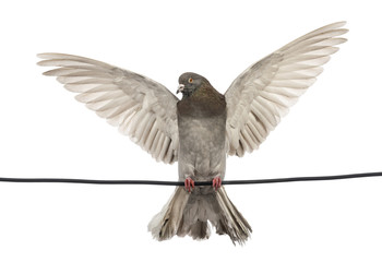 Pigeon perched on an electric wire flying away